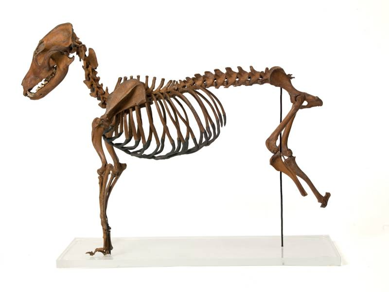 Articulated Dog Skeleton